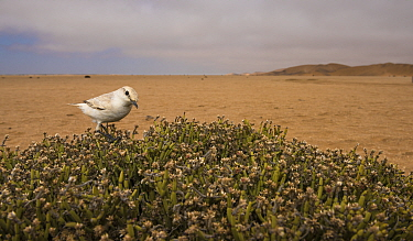 Tractrac chat (Cercomela tractrac) sitting in bush, Namib Desert, Namibia