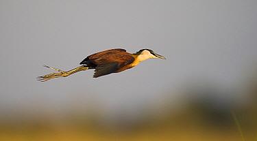 African jacana (Actophilornis africanus) in flight, Chobe river, Botswana.