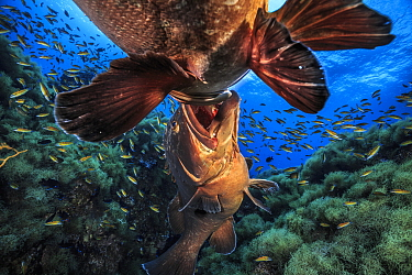 Two male Dusky groupers (Epinephelus marginatus) fighting for territory during mating season at 'baixa do meros', a small pinnacle at Formigas islets Protected area, near Santa Maria Island, Azores. F...