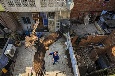 Black kites (Milvus migrans) flying above man as he throws food skyward from a rooftop. Old Delhi, India. February 2016. Finalist in the Urban category of the Wildlife Photographer of the Year Awards...