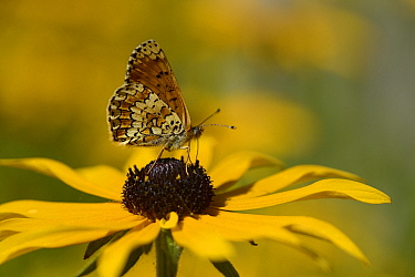 Glanville fritillary butterfly (Melitaea cinxia) feeding on Cone flowers (Rudbeckia) Loire Atlantique, France, August