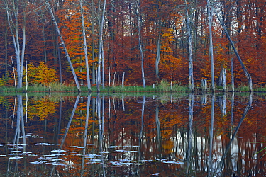European beech (Fagus sylvatica) and Pines reflected in  Schweingartensee lake.Serrahn, Muritz-National Park, World Natural Heritage site, Germany, Europe. November 2015.