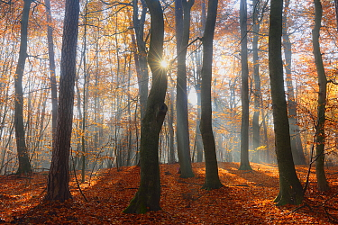 Sun rays  shining through  European beech woodland  (Fagus sylvatica). Serrahn, Muritz-National Park, World Natural Heritage site, Germany, Europe. November 2015.