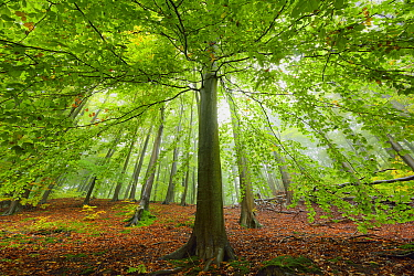 European beech tree (Fagus sylvatica). in woodland, Serrahn, Muritz-National Park, World Natural Heritage site, Germany, Europe. October 2015.