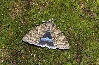 Clifden nonpareil moth (Catocala fraxini) Wiltshire, UK