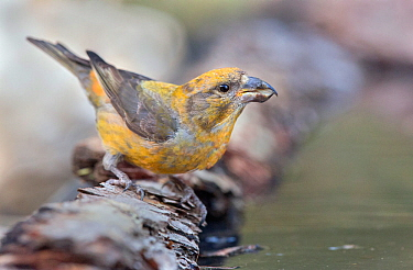 Crossbill (Loxia curvirostra) male drinking, Pyrenees, Spain July