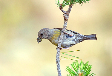 Crossbill (Loxia curvirostra) female, showing a buiid up of resin on her bill from feeding on pine cones, Pyrenees, Spain July