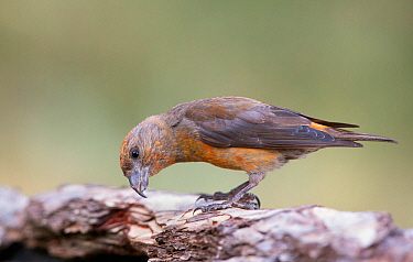 Crossbill (Loxia curvirostra) male trying to find insects underneath tree bark, Pyrenees, Spain July