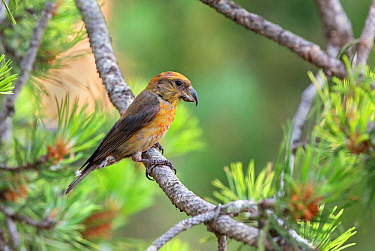 Crossbill (Loxia curvirostra) male, Pyrenees, Spain, July