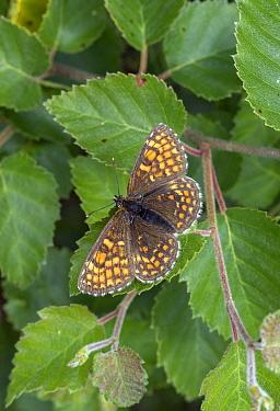 Heath fritillary (Mellicta athalia) Devon, UK