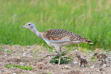 Great bustard (Otis tarda) 4 year old female (Black 17) with 6 days old chicks - part of a reintroduction project with birds imported under DEFRA licence from Russia.  Salisbury Plain, UK May