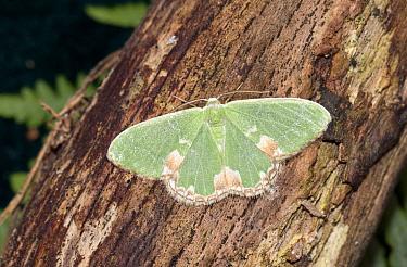Blotched emerald moth (Comibaena bajularia) Wiltshire, UK