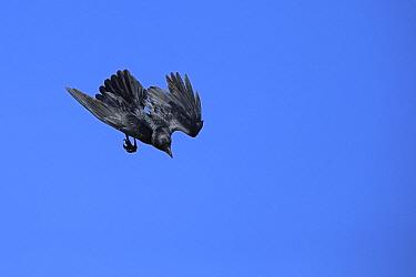 Fan-tailed raven (Corvus rhipidurus) in flight, diving through the air, Oman, February
