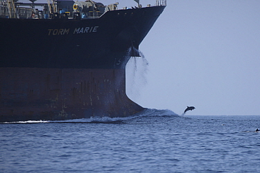 Indian Ocean bottlenose dolphin (Tursiops aduncus) jumping in front of ship , Oman, November