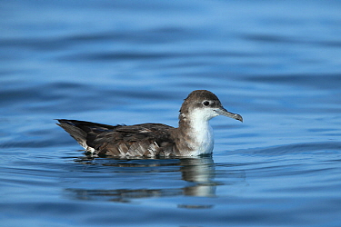 Persian shearwater (Puffinus persicus) on the water, Oman, November