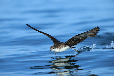 Persian shearwater (Puffinus persicus) running over water to take flight, Oman, November