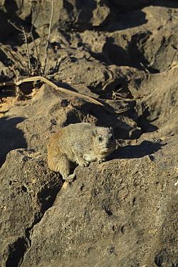 Rock hyrax (Procavia syriaca) amongst rocks, Oman, February
