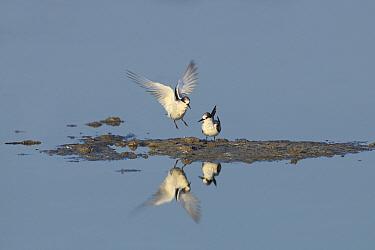 Saunders's tern (Sternula saundersi) two with one landing, Oman, November