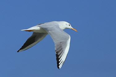 Slender billed gull (Chroicocephalus genei) in flight, Oman, November