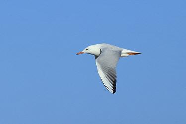 Slender billed gull (Chroicocephalus genei) adult in flight, Oman, December