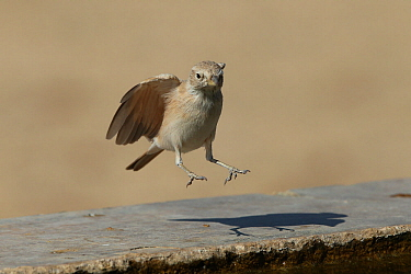 Desert lark (Ammomanes deserti) in flight landing, Oman, January