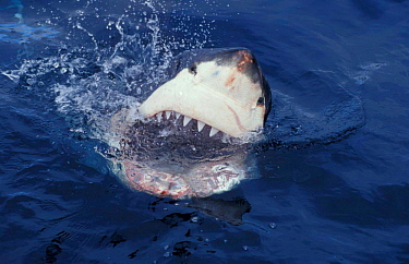 reat white shark at surface, mouth open {Carcharodon carcharias} South Australia