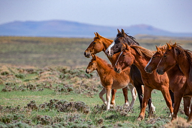 Wild mustang family of mares and a foal stand in Salt Wells Creek Herd Area, Wyoming, USA. May 2013.