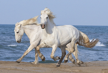 Two white Camargue horses running on beach in Camargue, France, Europe. May.