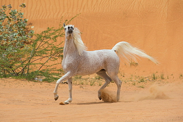 Grey Arabian stallion with head raised in desert dunes near Dubai, United Arab Emirates.