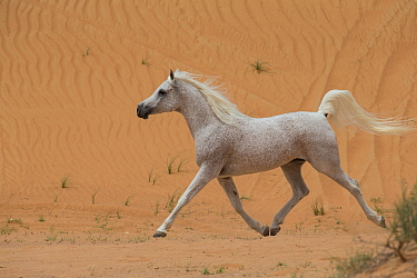 Grey Arabian stallion running in  desert dunes with tail raised, near Dubai, UAE.