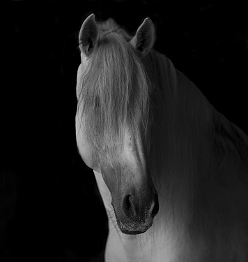 Head portrait of grey Andalusian stallion in dark barn,  Northern France, Europe.