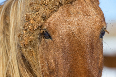 Close up of chestnut Spanish mustang with burs in mane and forelock at Black Hills Wild Horse Sanctuary, South Dakota, USA.