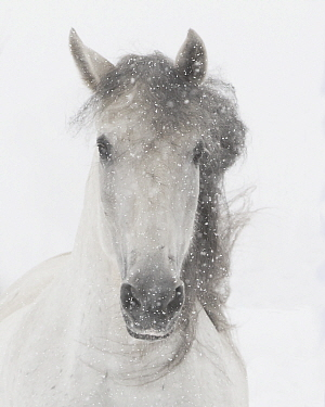 Head portrait of grey almost white Andalusian mare running in snow, Berthoud, Colorado, USA. January.