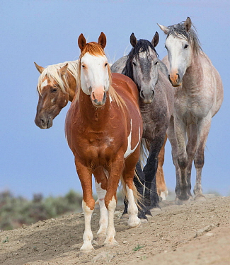 Four colorful bachelor stallions, pinto, palomino, and two greys in Sand Wash Basin, Colorado, USA.