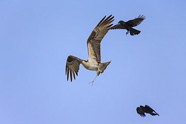 Osprey (Pandion haliaetus) carrying stick to build nest and mobbed by American Crow (Corvus brachyrhynchos), Sanibel Island, Florida, USA, January.