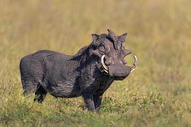 Cape Warthog (Phacochoerus aethiopicus) adult male / with Yellow-billed Oxpecker (Buphagus africanus) adult sitting on head and calling, Masai Mara National Reserve, Kenya