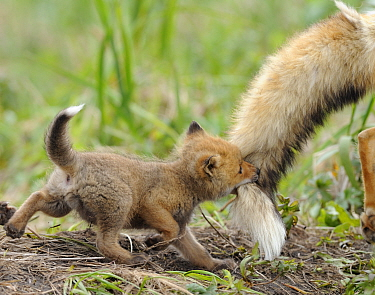 Red fox (Vulpes vulpes) cub biting tail of adult male, Kronotsky Zapovednik Nature Reserve, Kamchatka Peninsula, Russian Far East. June.