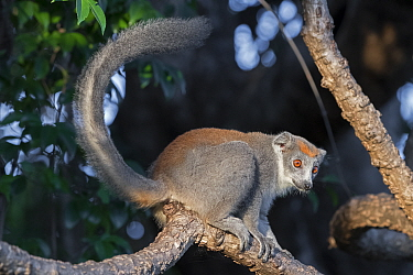 Crowned lemur (Eulemur coronatus) female in tree, Ankarana National Park, Madagascar