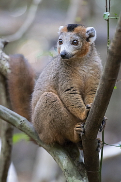 Crowned lemur (Eulemur coronatus) male in tree, Ankarana National Park, Madagascar