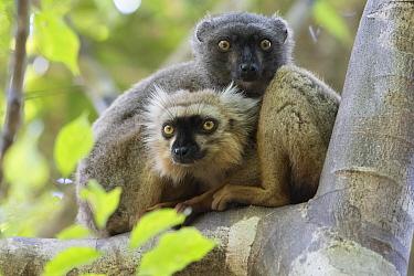 Sanford's brown lemur (Eulemur sanfordi) male and female in tree, Ankarana National Park, Madagascar