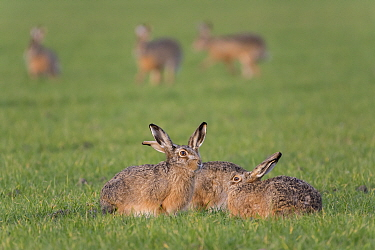 Brown hares (Lepus capensis) sitting together in field, Zeeland,  The Netherlands February