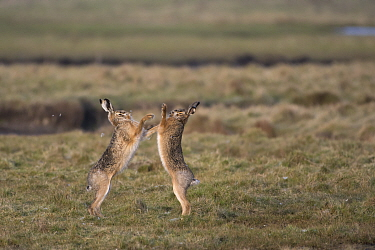 Brown hares (Lepus capensis) boxing in field, Zeeland,  The Netherlands, February