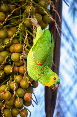 Orange-winged Amazon parrot (Amazona amazonica) feeding on palm fruits. Southern Pantanal, Moto Grosso do Sul State, Brazil. September.