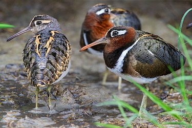 Greater painted snipe (Rostratula benghalensis) - male (left) and two females (right) - resting on edge of water. Ngorongoro Crater, Tanzania.