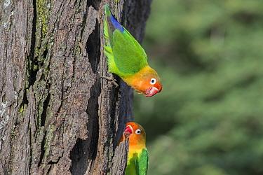 Fischer's lovebirds (Agapornis fischeri) on tree, Ndutu area, Ngorongoro Conservation Area NCA / Serengeti National Park. Tanzania.