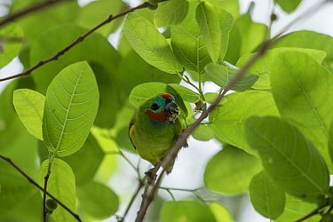Double-eyed fig parrot (Cyclopsitta diophthalma), Queensland,Australia.