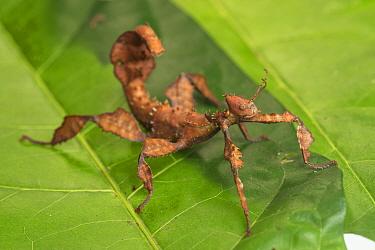 Spiny leaf insect (Extatosoma tiaratum) female, endemic to Australia,  Queensland, Australia.