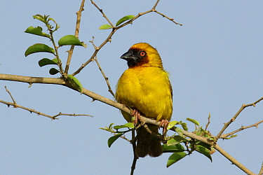 Ruppell's weaver (Ploceus galbula) male perched on twig, Oman, August