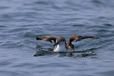 Persian shearwater (Puffinus persicus) sitting on the sea, Oman, September