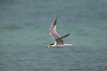 Greater crested tern (Thalasseus bergii) in flight and with fish, Oman, August